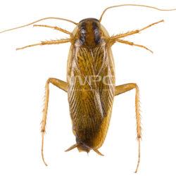 karaluchy w domu