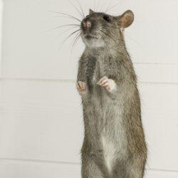 Jak pozbyć się szczura